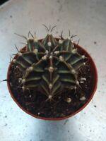 GYMNOCALYCIUM MIHANOVICHII 1 unidad Planta suculenta suculent plant