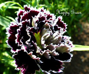 CARNATION - Dianthus chinensis heddewigii - 100 seeds - BLACK AND WHITE