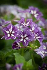 30+  PHLOX SUGAR STARS ,  HEIRLOOM VIOLET BLUE  /  SELF SOWING FLOWER SEEDS
