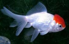 """3 Red Cap Oranda Goldfish (1.5""""-2"""") Live Fish 2Day Fedex shipping"""