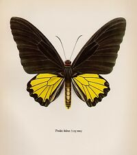 Antique BUTTERFLY Art Print Insect Print Gallery Wall Art Common Birdwing 2155