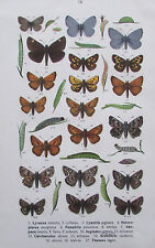 1913 Schmetterlinge LYCAENA CYANIRIS HETEROPTERUS PAMPHILLA 2 Bilder Farbdrucke