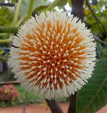 Tree Seed - KADAM - Neolamarckia cadamba -Burflower Tree Seed -Pack of 10 Seeds