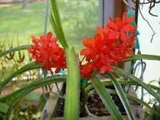 Rare orchid species hybrid seedling - Ascocentrum curviflolium