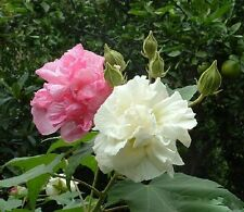 6 graines de CAPRICE DE FEMME (Hibiscus Mutabilis)G72 CONFEDERATE ROSE SEEDS