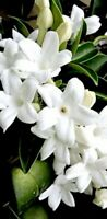 Madagascar Jasmine *Eight Cuttings To Start FRAGRANT Stephanotis plants