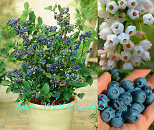 SUPER DWARF Blueberry 'Top Hat' VERY HARDY Self-fertile! PRODUCTIVE! seeds.