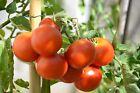 20 Graines /seeds de tomate Moneymaker BIO