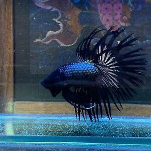 Live Betta Fish - Black Copper Star - Crowntail Betta- from Premium Thai Breeder