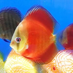 Red Cover-Red Rose Discus | A++++ Grade | Overnight Shipping | USA Seller