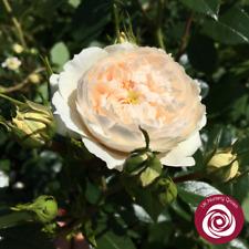 MACMILLAN NURSE   Shrub Rose   4Ltr Potted Rose Plant   White, Scented