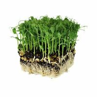 SPROUTING GREEN PEA SEEDS - NON-GMO, ORGANIC MICROGREENS SHOOTS - SPROUTS
