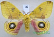 Automeris io (Fabricius, 1775) male ex. ovo USA16