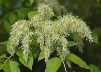 FRAXINUS ORNUS alv Orniello Ash Albero della manna  offerta 40 piante!