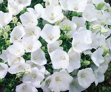 F0782 Campanula Carpatica Bell White x100 seeds