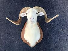 Cool looking TEXAS DALL Sheep Big Horns Taxidermy Log Cabin Hunting Lodge Decor