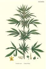 Botanical Postcard: Vintage Repro Print- Cannabis Sativa / Marijuana/ Weed Plant