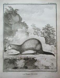 Rare Polecat Ferret Antique Print Animal Buffon Copper Plate Engraving 4to 1758