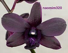Dendrobium Vinter's Reserve 'Vino Tinto' In Spike