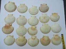 "19 Scallop Shells Baking Decoration Wedding Art 4.5""-5"""