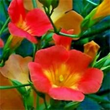30 Madame Galen Trumpet Vine Seeds - Campsis × tagliabuana