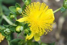 St. John's Wort Hypericum Plant FREE SHIPPING STARTER PLANT