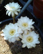 Echinopsis melanopotamica Curly Silver Spine Queen Flowers Cactus 76