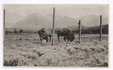 PHOTO ANCIENNE Zoo Bison Deux Bisons en captivité Grand Bovidé Vers 1930