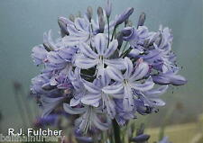3 New  Agapanthus Summer Days  good garden perennial plant UK Bred