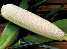 White Corn Seeds, Silver Queen, Hybrid Corn Seeds, Non-Gmo Seeds, Sweet, 50ct