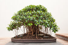Small Leafed Fig (Ficus obliqua) - 250 Seeds Bonsai or Feature
