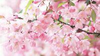 1 Pack 10 Cherry Blossom Seeds Sakura Oriental Cherry