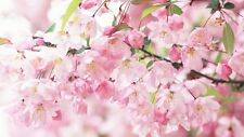 1 Pack 10 Cherry Blossom Seeds Sakura Oriental Cherry S027