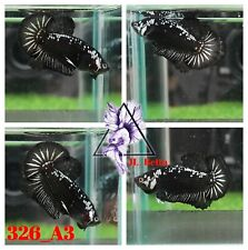 New Listing[326_A3]Live Betta Fish High Quality Male Black Sumurai Plaket📸Video Included📸
