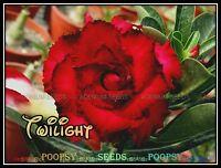 ❀⊱ ADENIUM OBESUM DESERT ROSE ❀ HYBRID ❁ HOUSE PLANT BONSAI SEEDS Ƹ̵̡Ӝ̵̨̄Ʒ⊰✾T1
