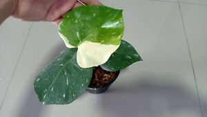 Monstera DeliciosaThai Constellation! Fully Rooted #3