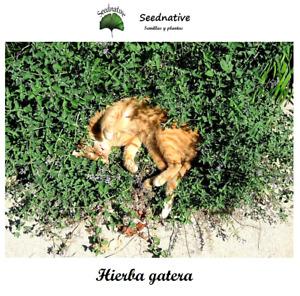 Nepeta cataria - Hierba gatera - 500 semillas - Saatgut - Graines - Semi