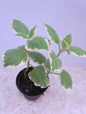 Variegated Plecanthus Amboinicus Cuban Oregano Spanish Thyme 2 Rooted Cuttings
