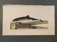 1801 Original Hand Colored Etching - Cuvier & Saint-Hilaire - Dolphin