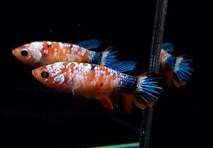 ( Hight Quality)Premium Live Betta Fish Female Koi Nemo Galaxy From Thailand