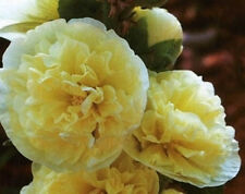 Alcea rosea Chaters Double Yellow 10 fresh seeds