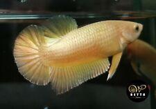 LIVE BETTA FISH BREEDING PAIR CLEAN SUPER GOLD HMPK READY TO BREEDING (SG2)