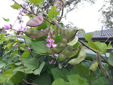Hyacinth Bean Nila - A Light Purple-Green Delicious & Productive Bean Variety!!!