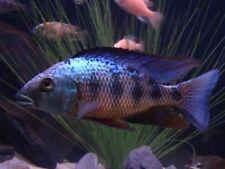 Male Aggressive Live Aquarium Fishes