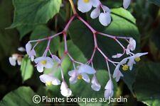 Begonia grandis Alba (Evansiana)° 1 plant en godet ° rustique