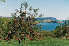 736009 Apple Orchard With Cape Blomindon In Background Nova Scotia Canada A4 Pho