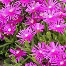 200 Pelleted Seeds Ice Plant Table Mountain Perennial Seeds BULK SEEDS