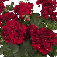 10 Double Red Geranium Seeds Hanging Basket Perennial Flowers Seed Flower 998