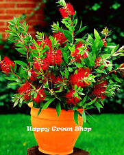 Red Crimson BOTTLEBRUSH Tree - 300 graines-Callistemon citrinus Goog pour bonsai