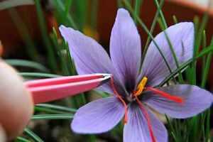 25 Crocus Sativus bulbs - Grow your own saffron spice - Available NOW!!!